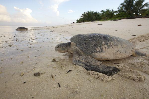 sea turtles in guanacaste